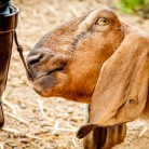 Goat and Boot