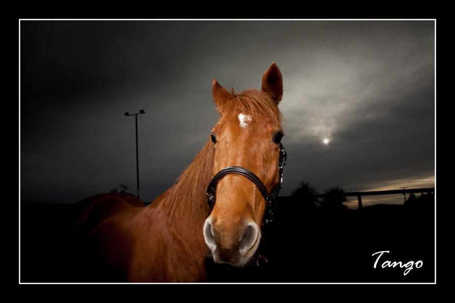 Tango the Horse
